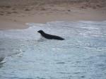 Monk Seal 1