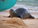 Monk Seal 3