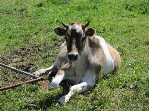 Steer - IMG_9367