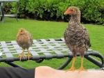 Chicken in Kauai –IMG_4297