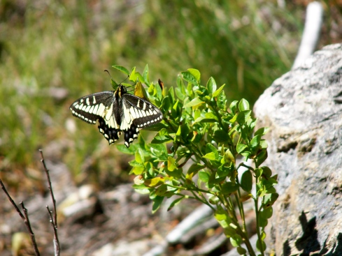 Butterfly at Bootjack Mountain - July 28, 2007