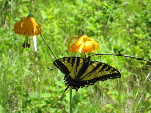 Butterfly on Tiger Lily