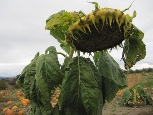 Sunflower in a pumpkin patch - Hood River, Oregon