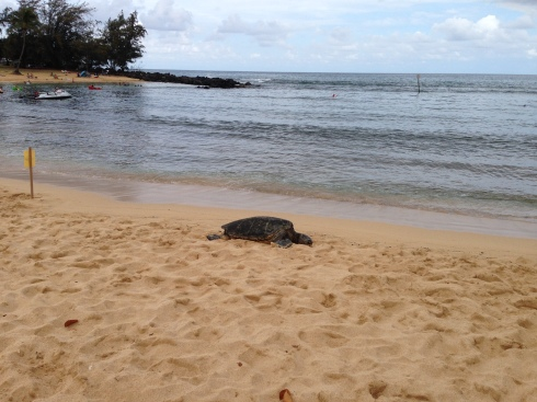 Turtle at Poipu - May 28, 2016